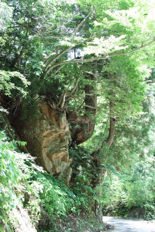 岩を抱く立山杉群「洞杉の森」とセットで訪れたい!