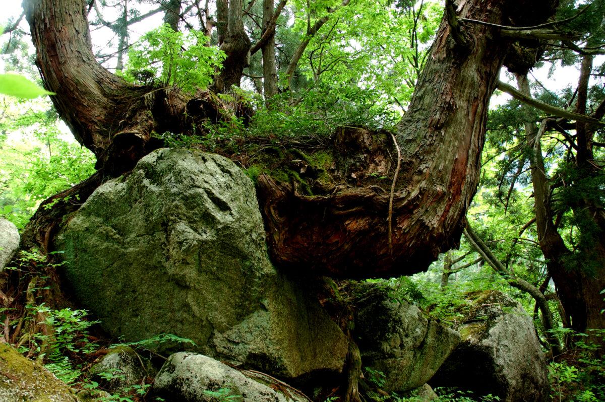 最大の洞杉は日本で三番目の巨木!