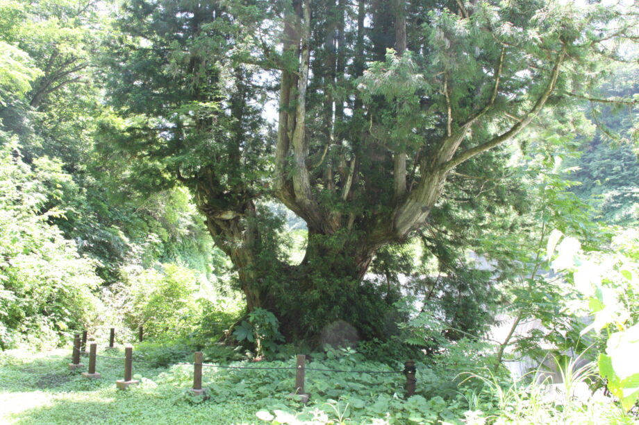 自然が作り出す異形の杉