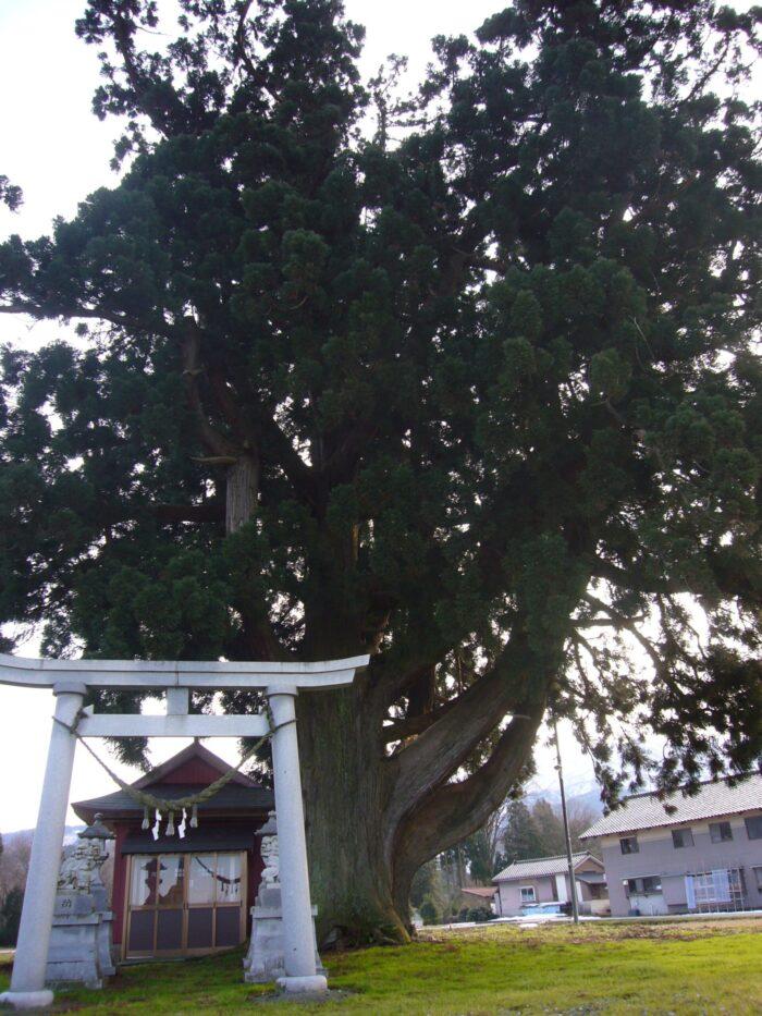 根際の幹廻り12m、立山杉の巨木