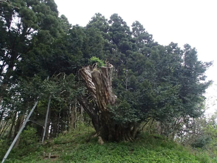 榧(かや)の大木